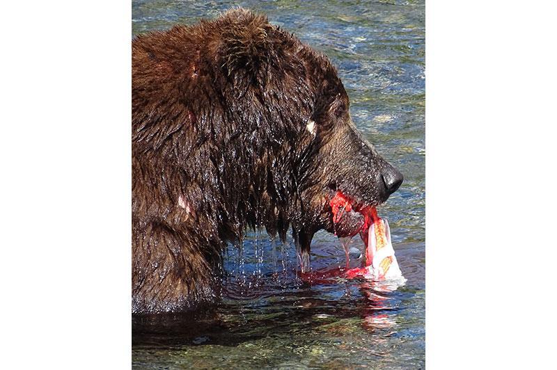 Photo of bear eating a fish